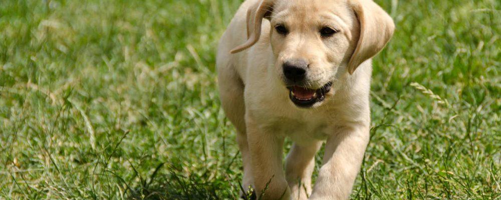cachorro-independente